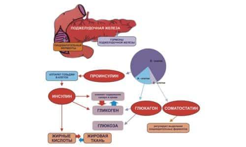 Если говорить о функциональном предназначении, то поджелудочная железа осуществляет внутреннюю и внешнюю секрецию, которая обеспечивает пищеварение