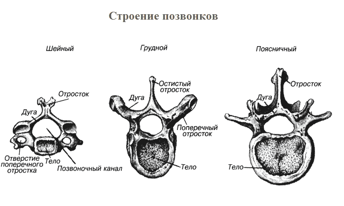 Тело позвонков представляет собой кость, имеющую форму цилиндра. Она обладает различной толщиной в отделах всего позвоночника
