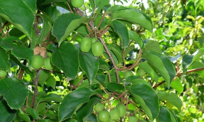 Плоды фейхоа богаты водорастворимыми соединениями йода и очень полезны для щитовидной железы