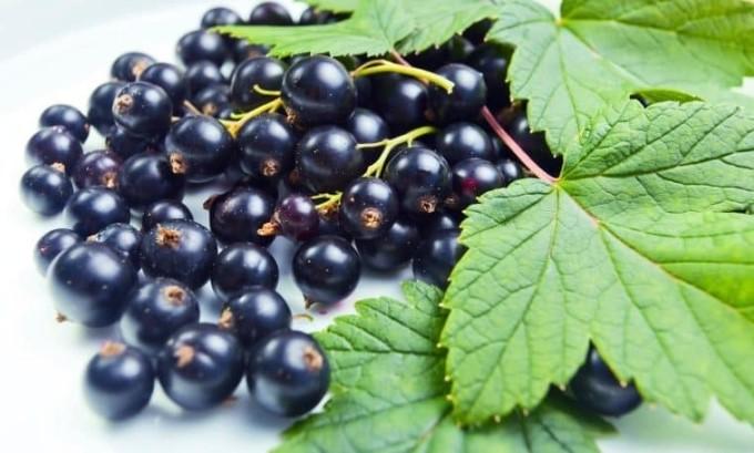 Очень хорошим средством от цистита, особенно хронического, является толокнянка в сочетании с листьями черной смородины