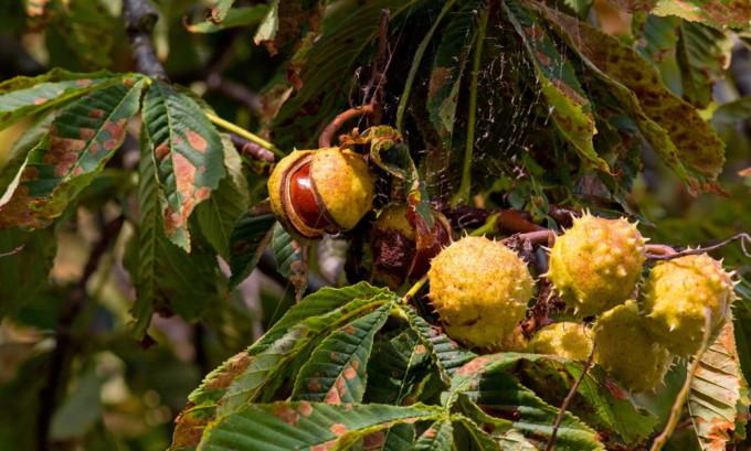 В лечении варикоза очень эффективен конский каштан, можно использовать листья, цветки и плоды данного растения