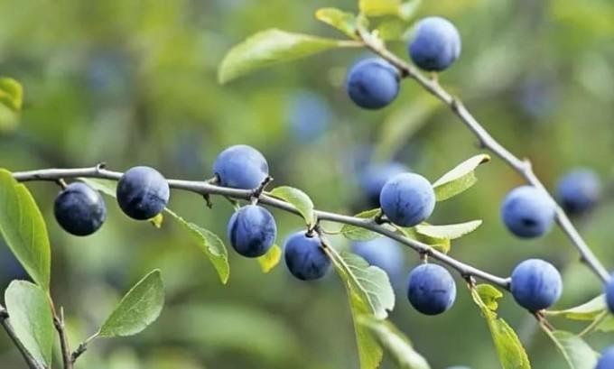 При цистите полезен настой из листьев, ягод и коры терна