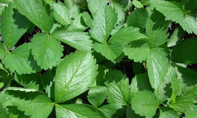 Отвар из листьев лесной земляники способен поддерживать работу щитовидной железы