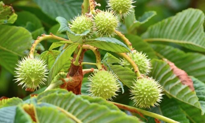 Хорошо помогает конский каштан. Листья растения заливают кипятком и настаивают 2 часа, после чего их заворачивают в марлю и прикладывают к пораженному месту