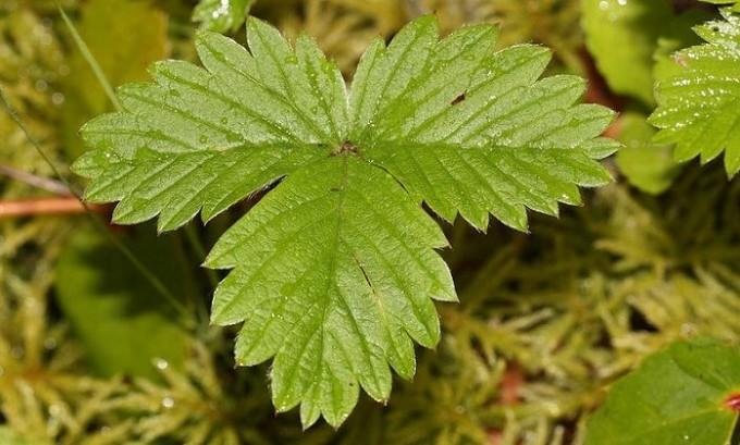 Очень помогают при язвенных болезнях ног листья земляники, которые прикладывают как компресс несколько раз в день