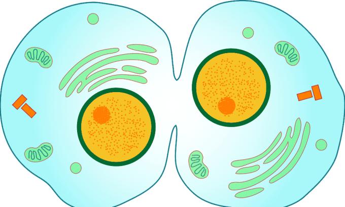 Щитовидная железа участвует в формировании и дифференциации новых клеток в организме человека