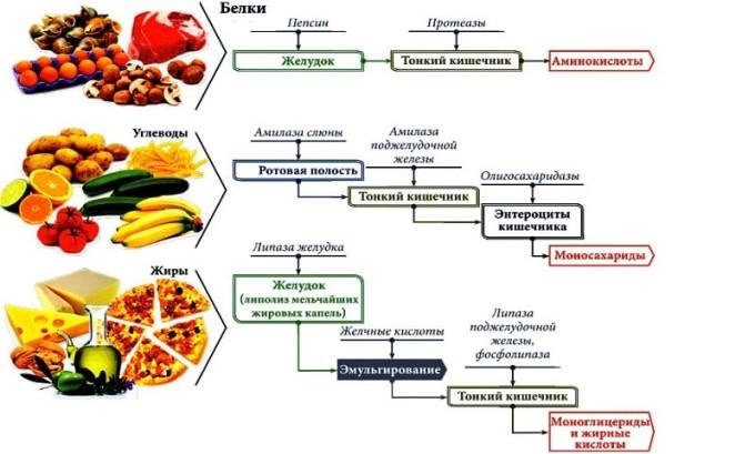 Первой задачей поджелудочной железы является переваривание пищи, в частности, расщепление ее белковых, жировых и углеводных химических соединений