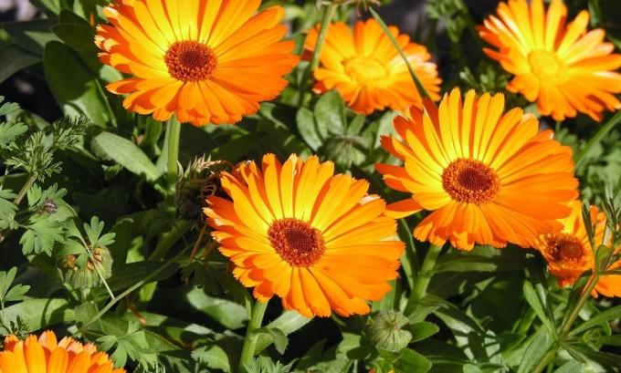 Народная медицина широко использует в борьбе с герпесом и такое растение, как календула