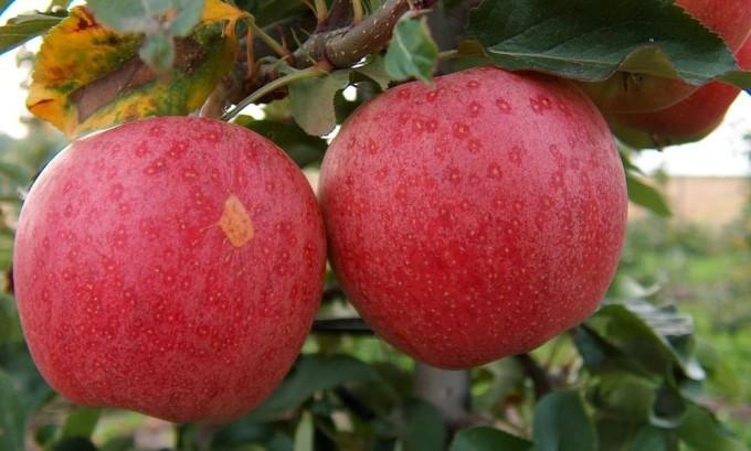 В семенах яблока содержится пятнадцать процентов йода и жирного масла