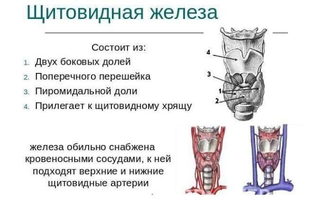 Анатомия щитовидки