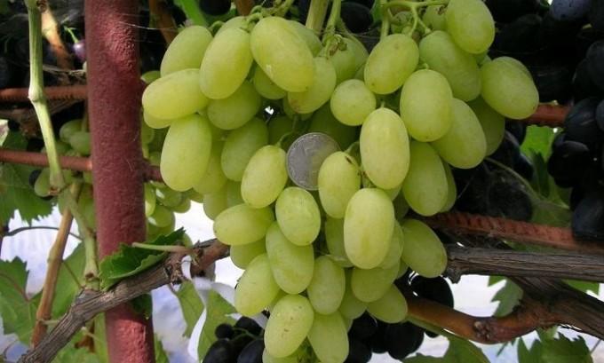 Лучше не употреблять виноград