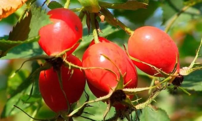 Для устранения резей, нужно принимать толокнянку вместе с крапивой, плодами шиповника
