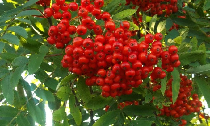 Плоды рябины богаты витаминами