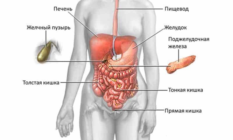 Поджелудочная железа размеры