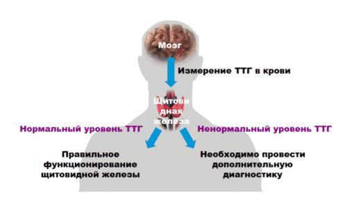 Снижение уровня ТТГ наблюдается при вторичном гипотиреозе (при поражении гипофиза) или гипертиреозе (за счет обратной связи с тироксином)