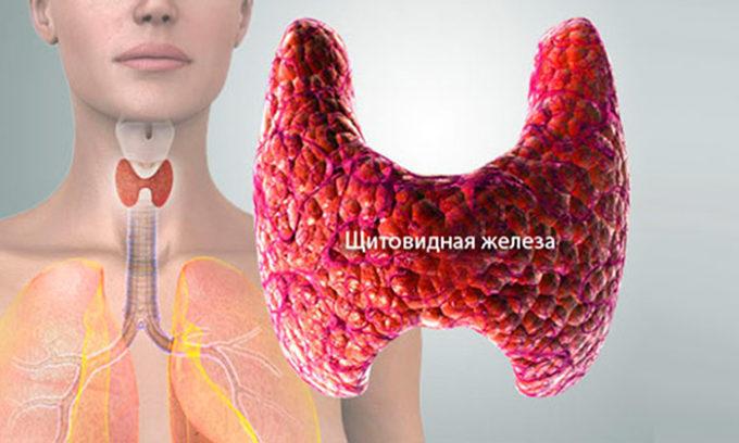 Для чего нужна щитовидная железа человеку