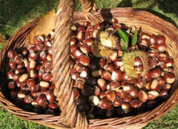 Как применить рецепт из конского каштана от варикоза вен?