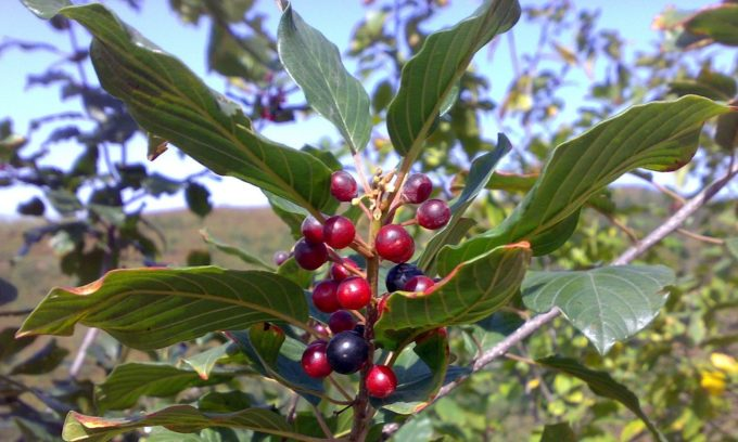 Несколько плодов крушины позволяют укрепить ослабленный организм